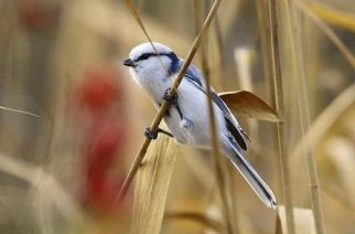 Lazúrcinege. Új madárfaj jelent meg hazánkban